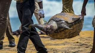 Wildlife officials carry away the carcass of a turtle that was washed ashore at the beach of Angulana, south of Sri Lanka's capital Colombo on June 24, 2021. (Photo by ISHARA S. KODIKARA / AFP) (Photo by ISHARA S. KODIKARA/AFP via Getty Images)