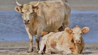 vacas en la playa en Carolina del norte