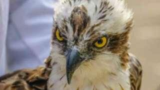 Osprey bird www.ring.ac, M-68528