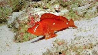 Walking-scorpion-fish.