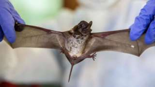 A fruit bat being held by its wings