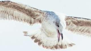 Gulliver the herring gull