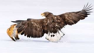 A fox snaps at a large eagle with is wings outstretched in an icy landscape