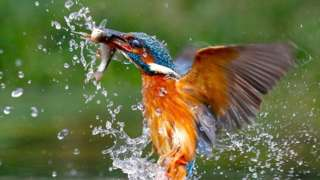 Kingfisher with fish.