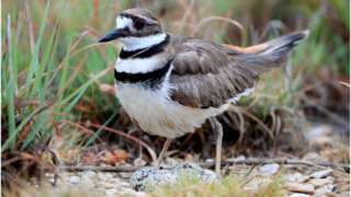 Killdeer protects a nest with eggs in Dallas, Texas.
