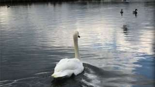 Rescued swan being released in Poole Park