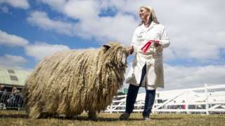 A sheep being judged at the Great Yorkshire Show