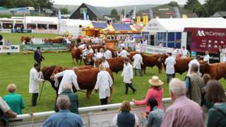 A line up of cows at the Royal Welsh Show