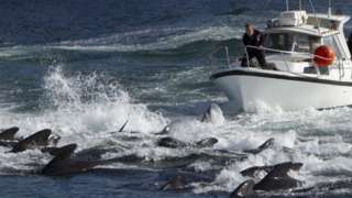 Whale's are driven to swim onto the beach in the Faroe Islands