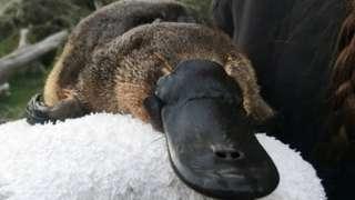 A platypus