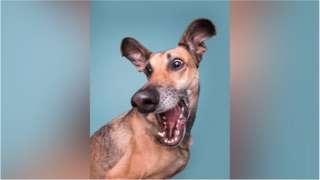 这条西班牙猎犬可能是被松鼠惊吓到了,这表情就被埃尔克·沃格桑(Elke Volgelsang)定格了。
