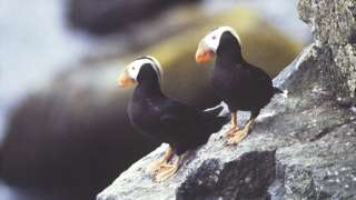 The tufted puffin