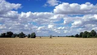Field ready for combine, Bourne, Lincolnshire