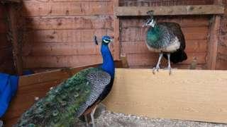Peacocks in Marehay, in Ripley, Derbyshire
