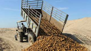 Farmer dumping potato crop in western India