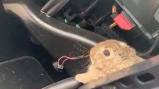 The baby bunny was spotted peeking from behind a dash board