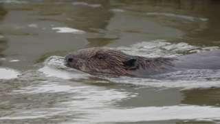Beaver on Fal