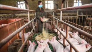 Woman feeding pigs in China.