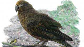 An artists' impression of the largest parrot ever found