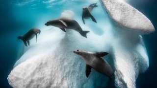 Un grupo de focas nadando alrededor de un iceberg en Antártida.