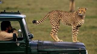Safari, Cheetah, Maasai Mara, Kenya