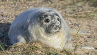 A grey seal pup on Blakeney Point
