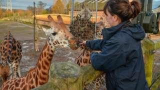 Giraffe team leader Sarah feeding the Rothschild giraffes
