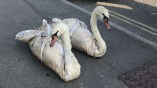 rescued swans