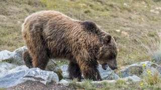 Brown bear in Pyrenees - file pic, 3 Sep 18