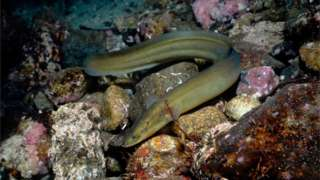 European eel in Norway