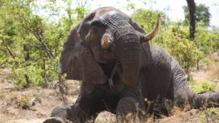 Collared elephant