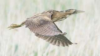 Adult bittern in flight at Newport Wetlands Nature Reserve.