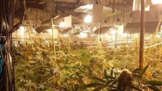 Hundreds of cannabis plants under bright lights at a former nightclub in Coventry