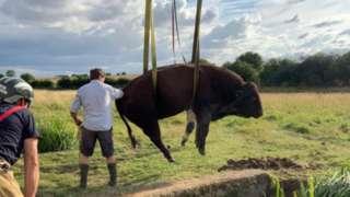 Bull rescued