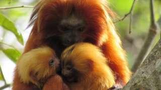 Mico com dois filhotes em galho de árvore