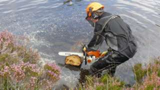 Cutting trees in Cairngorms