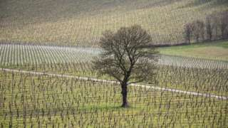 A tree in a vineyard