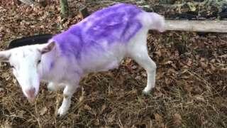 Sheep sprayed purple