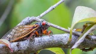 'Cicada' ganna 17 dhiyeenyaan maal akka fakkaatu