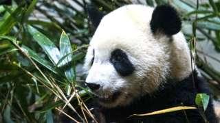 A giant panda eats bamboo at Chengdu Research Base of Giant Panda Breeding in 2018 in Chengdu, China