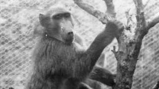 Monkey hanging from branches of a tree inside an enclosure