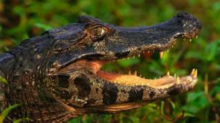 A crocodile with its mouth open