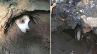 Terrier and badger in sett