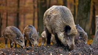 File image of wild boar