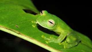 """One of three """"glass frogs"""" found by researchers sits on a leaf"""