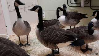 Oiled geese