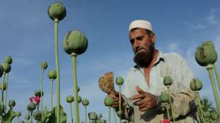 तालिबानची अर्थव्यवस्था आणि अफू यांचं नेमकं नातं काय?