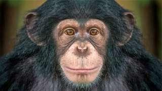 चिम्पांझी