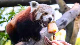 Longleat red panda