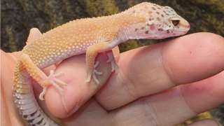 Gecko stolen in Motherwell